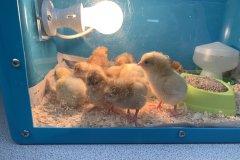 Chicks-in-Brooder