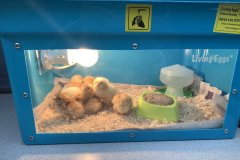 Chicks-in-their-brooder
